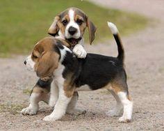 Playful beagle pups!