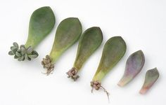 succulent propagation from leaves showing new growth Propagating Succulents from Leaves Propagate Succulents From Leaves, Baby Succulents, Hanging Succulents, Growing Succulents, Succulent Gardening, Succulents In Containers, Growing Plants, Propogate Succulents, Propagating Cactus