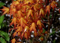 Acer palmatum 'Katsura' in early May