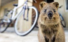 Le quokka, un petit animal toujours souriant - http://www.photomonde.fr/le-quokka-un-petit-animal-toujours-souriant/