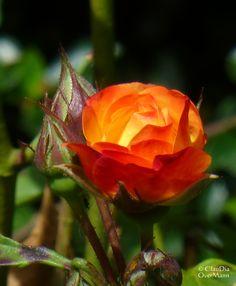 Glut-Rose