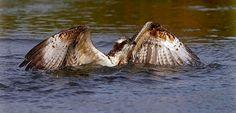 Visarend  (Van vroegevogels)