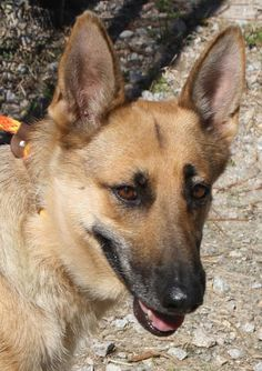 Miss Buffy is all fluffy and not at all scruffy! A beautiful German Shepherd, two-year-old Buffy was found as a stray on October 11th and taken to the Aiken County Animal Shelter in South Carolina. A classic dog like Buffy would usually have no problem finding a rescue or adopter. But Buffy tested positive for heartworms. This meant that she was not eligible for adoption at this shelter. Buffy would need a rescue commitment to spare her life....