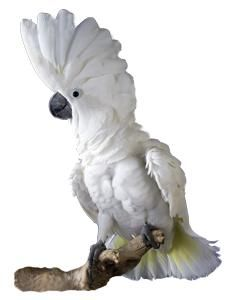 Umbrella Cockatoo  I WANT ONE