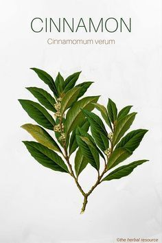 The Medicinal Herb Cinnamon (Cinnamomum verum) anti- fungal, anti-bacterial, diabetics,