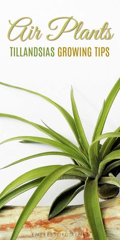 Air plants or Tillandsias are unusual low-care plants you can grow indoors and outdoors. #houseplants #airplants #growingtips #indoorgardening #empressofdirt