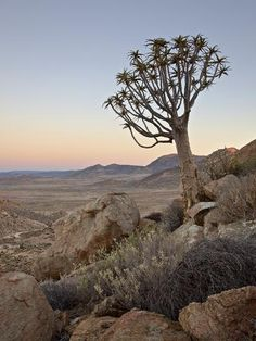 Photographic Print: Quiver Tree (Kokerboom) (Aloe Dichotoma) at Dawn, Namakwa, Namaqualand, South Africa, Africa by James Hager : Lesotho Travel Honeymoon Backpack Backpacking Vacation Africa Off the Beaten Path Budget Wanderlust Bucket List Landscape Photography, Nature Photography, Road Trip, South Africa, Beautiful Places, Scenery, Pictures, Camping Trailers, November