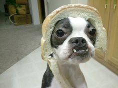 In bread boston terrier = funny!