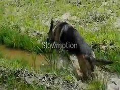 German Shepherd going crazy in water.