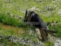 German Shepherd going crazy in water.