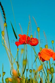 Closeup Detail Of Poppies Against Blue Sky Stock Photos / Pictures / Photography / Royalty Free Images at Inmagine