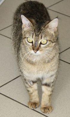 Laïka Type : Chat domestique poil court Sexe : Femelle Age : Adulte Couleur : Tigré Taille : Moyen Lieu : Morbihan - 56 (Bretagne)  Refuge : Les chats libres(Morbihan)  Tél : 06.79.45.22.27                           Abandonnée parce qu'elle était gestante ? C'est possible : nous l'avons en effet recueillie avec 3 chatons.
