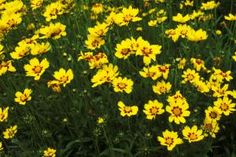 Coreopsis 'sonnenkind' -- Find PERENNIAL Burgundy or dark red flowers!  - Linda Burgess/Photolibrary/Getty Images