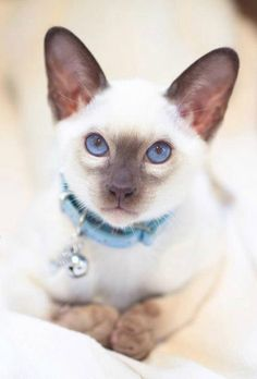 Siamese cats by Sasha Bell …