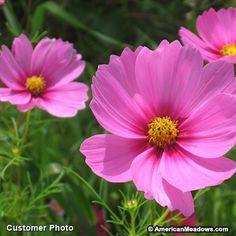 Cosmos Seeds, Cosmos bipinnatus, Cosmos - Wildflower Seeds from American Meadows