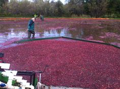 An organic cranberry grower in Washington State is using all-natural Cascade Minerals Remineralizing Soil Booster with great results. #RockDust #Organic #Cranberries