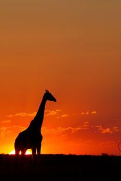 Giraffe Silhouette by Hendri Venter
