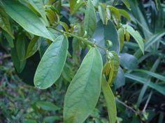 請問是什麼植物?--Antidesma japonicum南投五月茶(密花五月茶) - Nature Campus