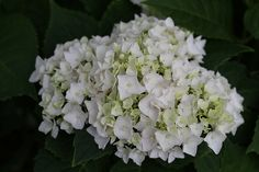 My Blushing Bride Hydrangea, Bride boasts pure white mopheads of showy, semi-double florets that gradually mature to a sweet, subtle blush of pink. Foliage is deep, dark green. Strong stems and branches keep the plant sturdy and upright in the garden, and make the flowers perfect for cutting. Reblooms all summer long on new growth.