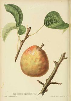 fruits-03842 - Beurre Sterkman Pear [2762x3909]