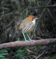 Chestnut-crowned Antpitta (Grallaria ruficapilla) Colombia (Río Blanco)