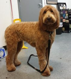 Image result for types of goldendoodle haircuts