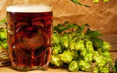 Beer hops is originally planted in Europe, America and Asia. In China, it is planted in northern Xinjiang, Shandong, Gansu and Shaanxi provinces. It is regarded as an useful plant, which can be put into medicine. It can be put into beer to improve the taste, and is now a necessary ingredient in producing beer.Research suggests that it is also valuable in medical field.