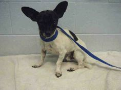 Sketch is a darling 3 year old chihuahua mix weighing 9 lbs.All animals are up-to-date on vaccinations (including rabies if over 4 months old), microchipped, and spayed or neutered. All dogs have been been vaccinated with DHPP and Bordatella (kennel...