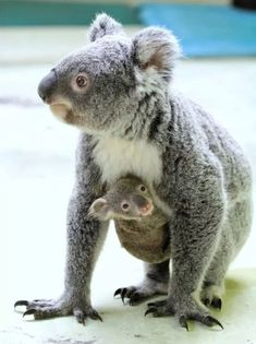 Marsupiali/Koala(o Fascolarto- Phascolarctos Cinereus): Cute Funny Animals, Cute Baby Animals, Funny Cute, Animals And Pets, Wild Animals, Funny Monkeys, Australian Animals, Tier Fotos, Cute Animal Pictures