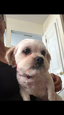 Cherry Hill Nj Maltese Meet Alvin A Pet For Adoption Pet