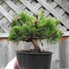 Miniature and Dwarf Trees and Shrubs for the Miniature Gardening. This tree perfect for Christmas holiday