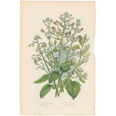 Antique 1860 Anne Pratt botanical print, Plt 154 Figwort, Flowering Plants #Vintage