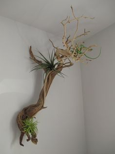 Airen made this with a branch she found at a flower mart vendor. Driftwood Projects, Driftwood Art, Air Plant Display, Plant Decor, Faux Plants, Indoor Plants, Garden Center Displays, Succulent Wall, Branch Decor