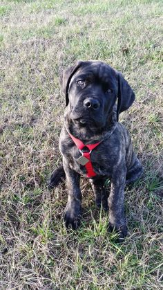 Zeus at 2 months English Mastiff Source by dannettelewis The post Zeus at 2 months English Mastiff appeared first on AL Pets. English Mastiff Puppies, Mastiff Dogs, Mastiff Mix, English Mastiffs, Baby Puppies, Cute Puppies, Adorable Dogs, Adorable Animals, Cane Corso