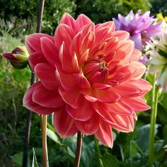 Coral dahlia- might be available late July..would add beautiful texture with the Juliet roses