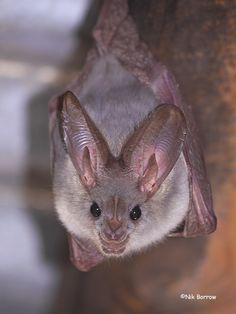 Heart-nosed Bat
