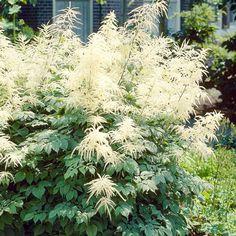 Aruncus Dioicus Seeds ( Aethusifolius ) GOATSBEARD, Best Perennials For Shade