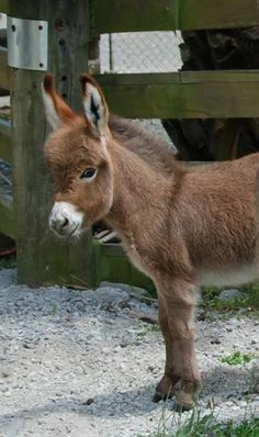 Pinner says-Gracie our little miracle baby. Courtesy: Clovercrest Miniature Donkey Stud, Pukekohe (New Zealand). Baby Donkey, Cute Donkey, Mini Donkey, Baby Cows, Baby Elephants, Cute Baby Animals, Farm Animals, Animals And Pets, Wild Animals