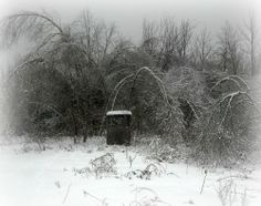 Ice storm 2013...most of these birch trees won't pop back up..