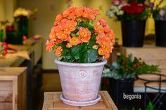 Begonia  #plantas #macetas #barro #artesanal #mx #floreria #floristeria #begonia