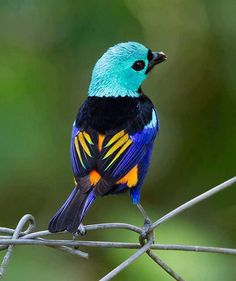Seven Colored Tanager-GREAT colors