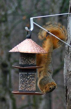 Acrobatic squirrel.
