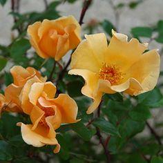 Mrs Oakley Fisher (Bush Rose)