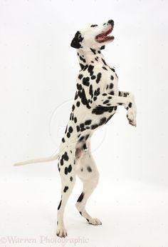 dalmation dog photo | Playful Dalmatian dog standing on hind legs photo - WP38639