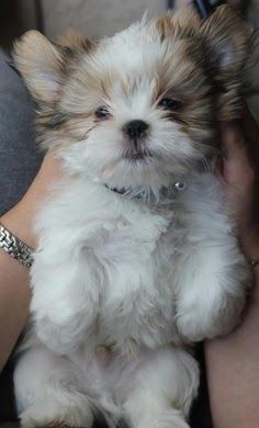 Here are some great Shih Tzu names in case you happen to be looking for names for your new shih tzu!