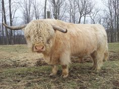 Scottish Highland Bull . . .Now thar's a bull