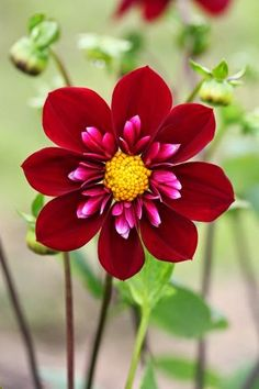 flowersgardenlove: Hillcrest Regal dahl hermosas hermosas flores bonitas - Gardening Go Unusual Flowers, Amazing Flowers, Colorful Flowers, Strange Flowers, Flower Colors, Colours, Flowers Nature, Pretty Flowers, Nice Flower