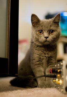magical-meow:  Oh hai (by WarzauWynn). Love British Blue  cats ♡ (have one myself)