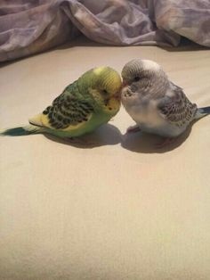 5 Things That May Surprise You About Parrots Animals And Pets, Baby Animals, Funny Animals, Cute Animals, Wild Animals, Cute Birds, Pretty Birds, Beautiful Birds, Budgie Parakeet