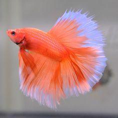 Halfmoon Orange Butterfly #25 Male 1 **Imported** Watch Video